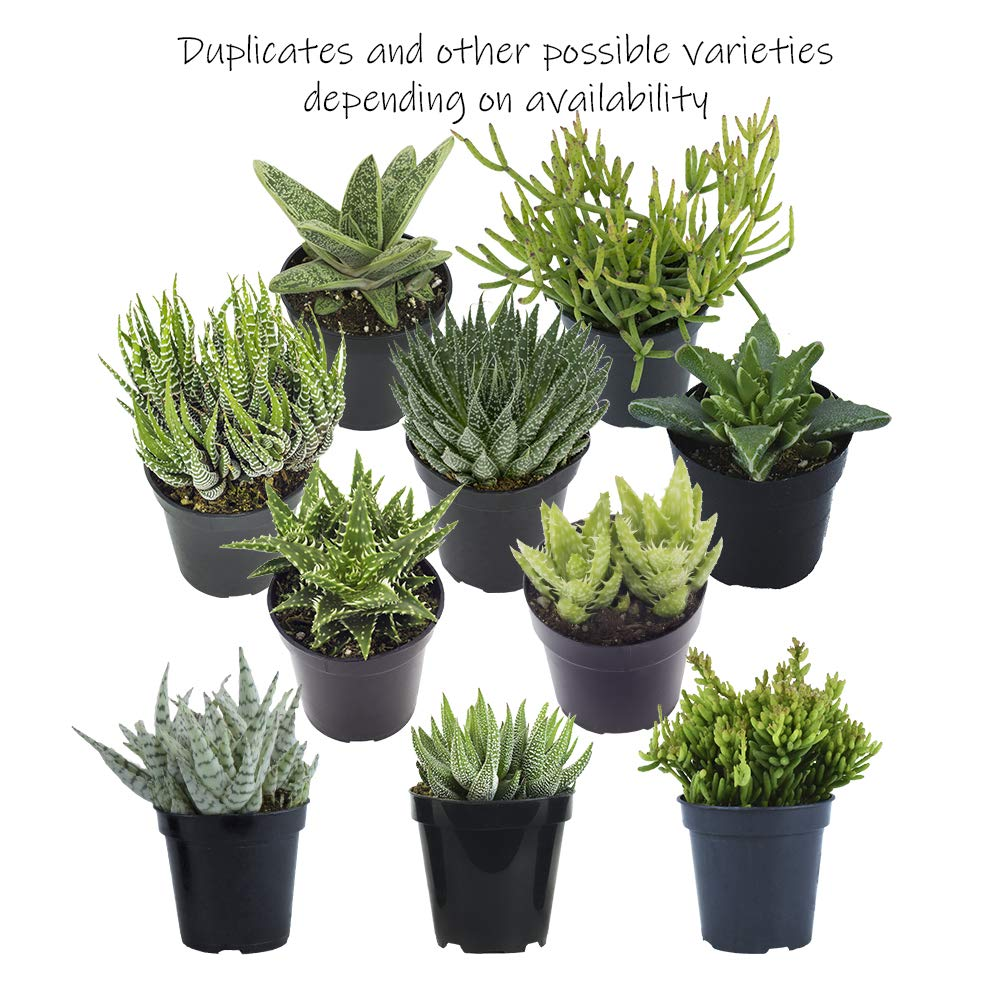 Altman Plants Assorted Live Succulents Desk Buddy Collection Easy care plants for Indoor, Office, Kitchen, 2.5'', 12 Pack by Altman Plants (Image #5)