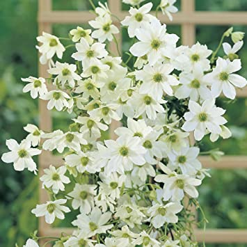 Potted clematis garden evergreen climbing plant baring white flowers potted clematis garden evergreen climbing plant baring white flowers a hardy shrub for patios mightylinksfo