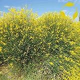 Go Garden Spanish Broom Spartium Junceum - 25+ Seeds