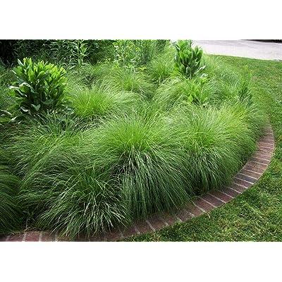 25 Seeds Prairie Dropseed Sporobolus Heterolepis Grass Seeds for Planting OMC-RR : Garden & Outdoor