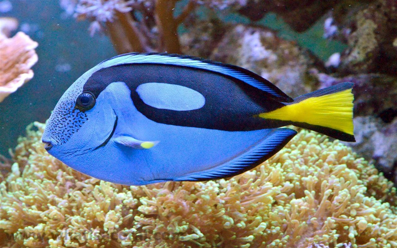 Live Saltwater Aquarium Fish - 5 - 6 '' Hippo Tang - 5-6'' Palette Surgeonfish SALTWATER FISH - by WorldwideTropicals - Live Tropical Fish - Populate Your Fish Tank!