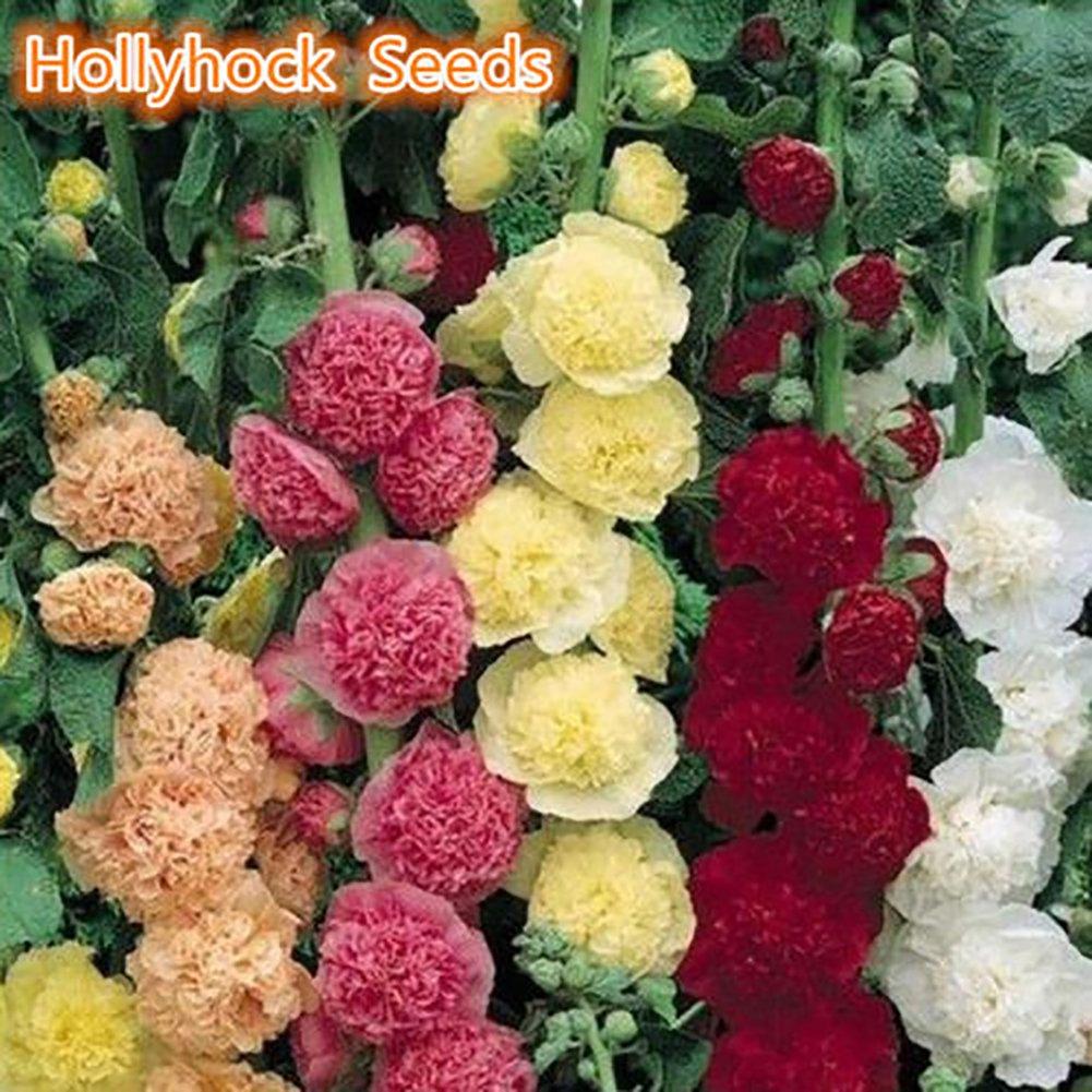 WuWxiuzhzhuo 100Pcs Couleur Aléatoire Rose Trémière Guimauve Rose Graines Jardin Plantation Décoration bonsaï