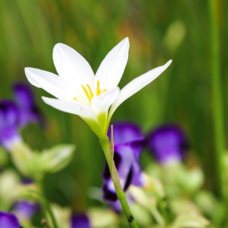 Amazon 8 White New Variety Rain Lily Flowering Bulbs Beautiful