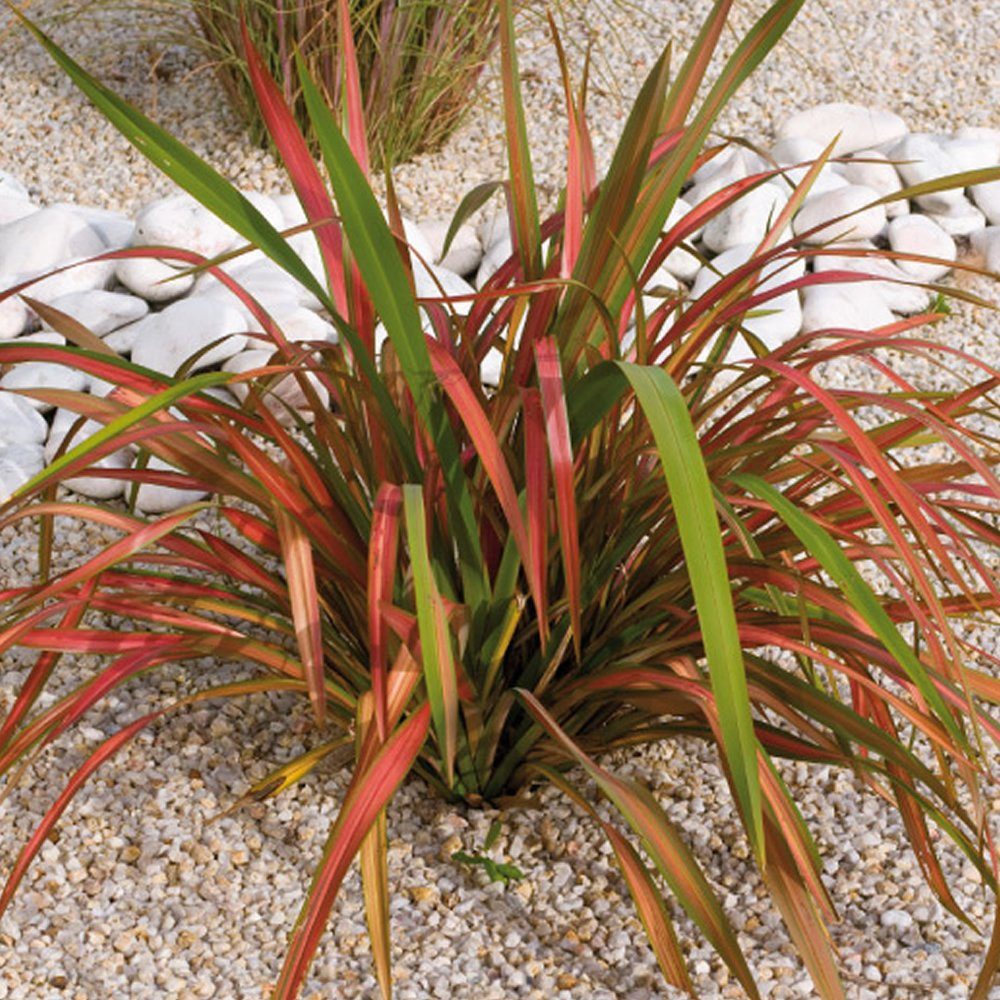 1 X PHORMIUM 'JESTER' NEW ZEALAND FLAX EVERGREEN SHRUB HARDY PLANT IN POT Gardener's Dream