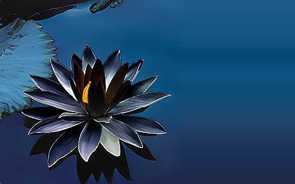 M Technologiess Black Lotus Seeds 5 Nos Amazonin Garden Outdoors