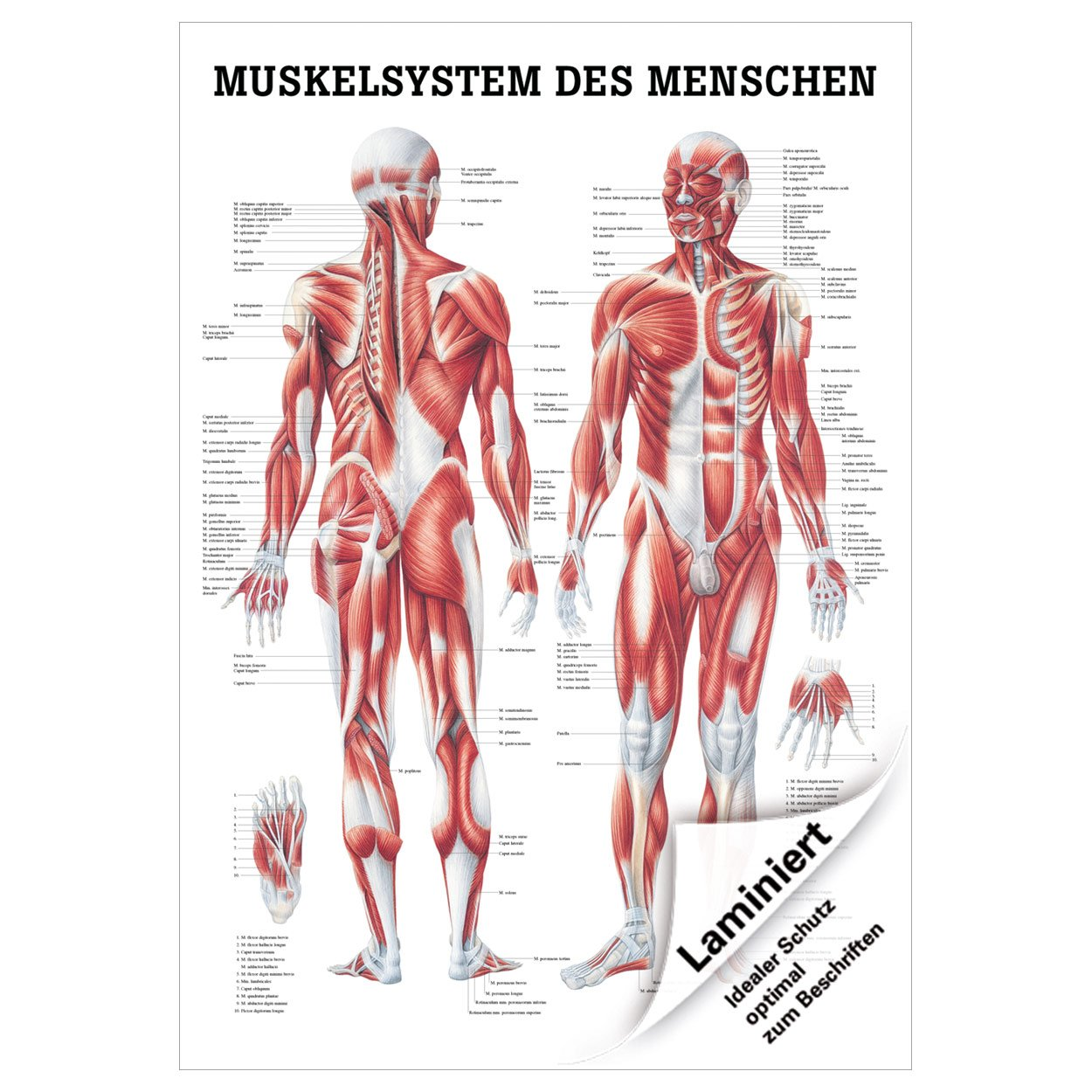 Ungewöhnlich Muskelsystem Des Menschlichen Körpers Zeitgenössisch ...