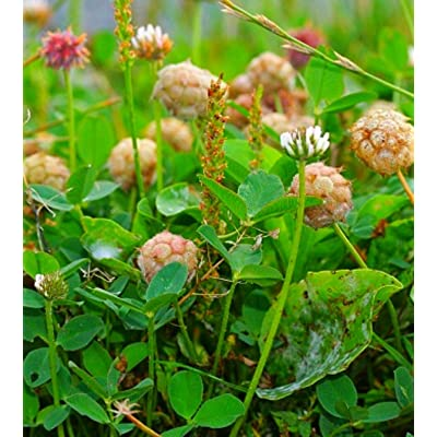 AchmadAnam - Seeds - Ready to Plant Now. Strawberry Clover 1 Ounce, Spreads : Garden & Outdoor