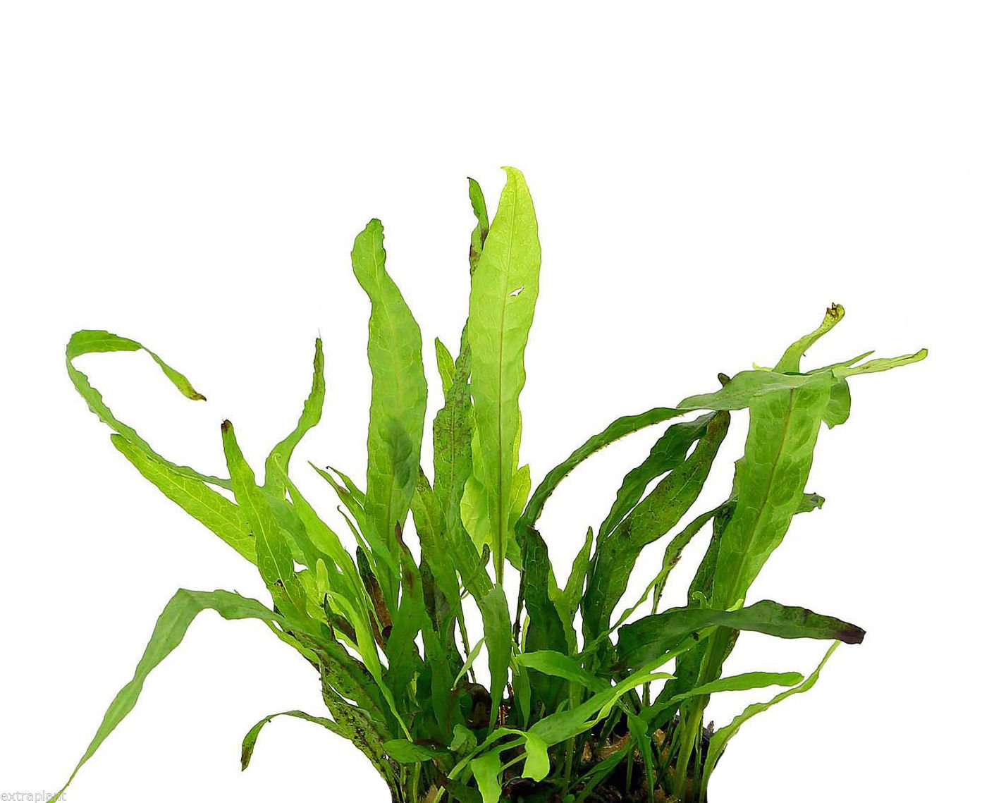 40+ Leaves Java Fern Microsorum Pteropus Live Aquarium Plants BUY2GET1FREE