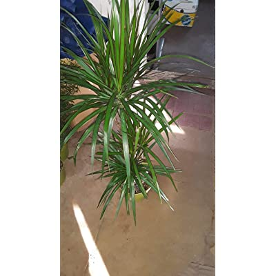 AchmadAnam - Live Plant - Madagascar Dragon Tree - Dracaena Marginata - 2 Feet Tall - 3 Columns - Ship in 1 Gal Pot. E9 : Garden & Outdoor