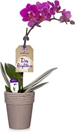Hallmark Flowers Petite Purple Orchid in 2.5-Inch Warm Stone Ceramic Container