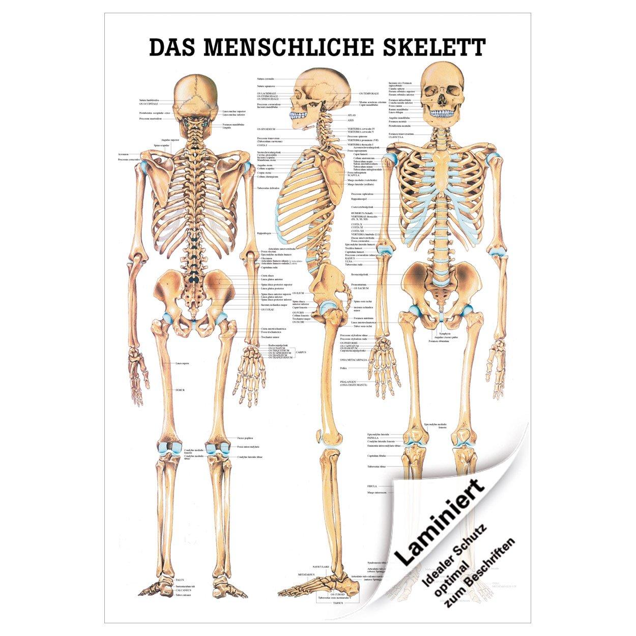 Ungewöhnlich Menschliche Skelettstruktur Zeitgenössisch - Anatomie ...
