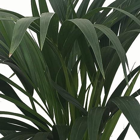 Kentia - Palmera de interior - Maceta 22cm. - Altura aprox.1,40m
