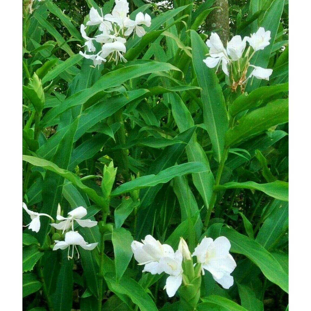 2 rizhomes White Ginger Lily Hedychium Coronarium Butter Fly Ginger