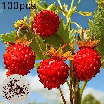 Mggsndi 100Pcs Sweet Wild Strawberry Seeds Non-GMO Fruit Easy Grow Plant for Home Garden Bonsai : Garden & Outdoor