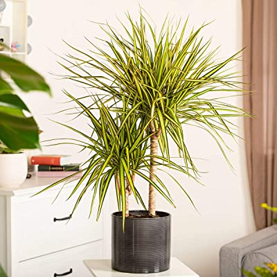 Bio Garden - Rare 20pcs Dragon Tree Dracena marginata House Plant Seeds Easy to Grow, Exotic Flower Seeds Hardy Perennial Garden : Garden & Outdoor