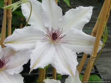Clematis henryi large white flowers with brown stamens june july clematis henryi large white flowers with brown stamens june july august september grown mightylinksfo Gallery