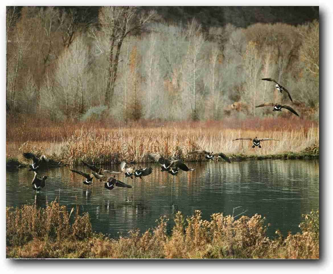 Wildlife Animal Wall Decor Canadian Geese Birds on Lake Art Print Poster (16x20)