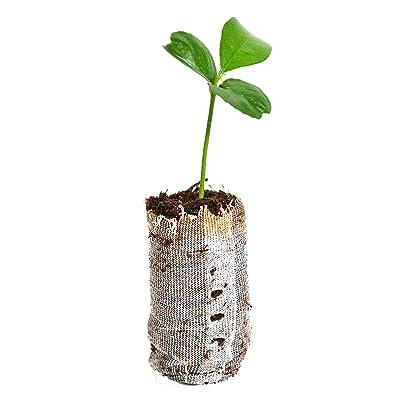 12 Honey Tangerine Tree (Citrus Reticulata Murcott), Starter Plugs Small Plant : Garden & Outdoor