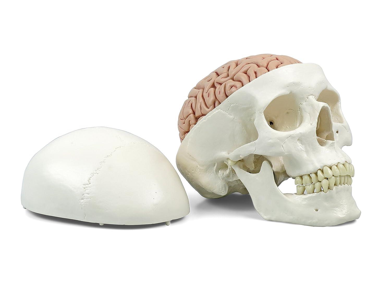 3B Scientific A20/9 Cráneo Clásico con Cerebro, 8 Piezas - 3B Smart Anatomy