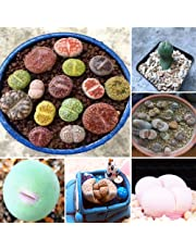 Hot Selling Gimax 100pcs Graines Lithops Pseudotruncatella Plant Seed Rare Potted Stone Succulentes Mixture Seeds