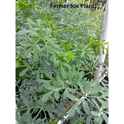 "RUE - Butterfly Larva Food - 4"" Pot - 2 Live Plants : Garden & Outdoor"