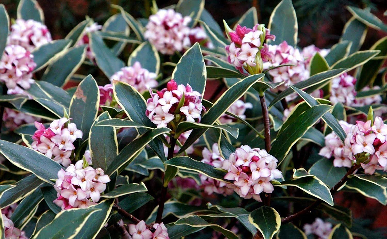 Daphne odora Aureomarginata - New Winter Daphne - 3 Plants in 9cm Pots IR Plant and Garden Centre