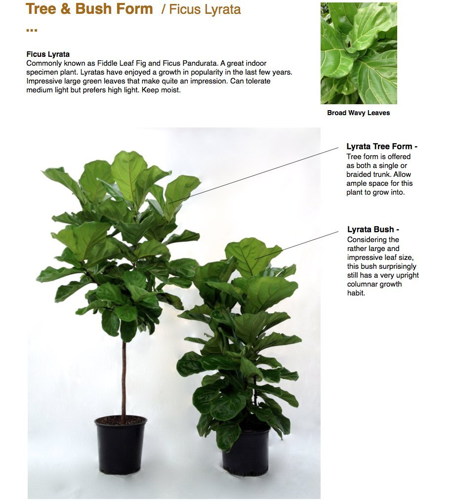 Fiddle Leaf Fig Standard (Ficus lyrata) (3-4 feet) by Garden Goods Direct
