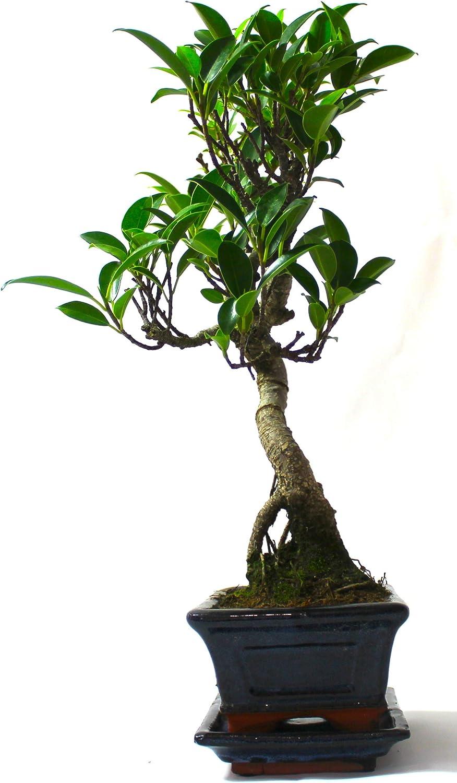 Fig Ficus Retusa Supplied with Ceramic drip Tray No Care Set Bonsai Tree Broom Style
