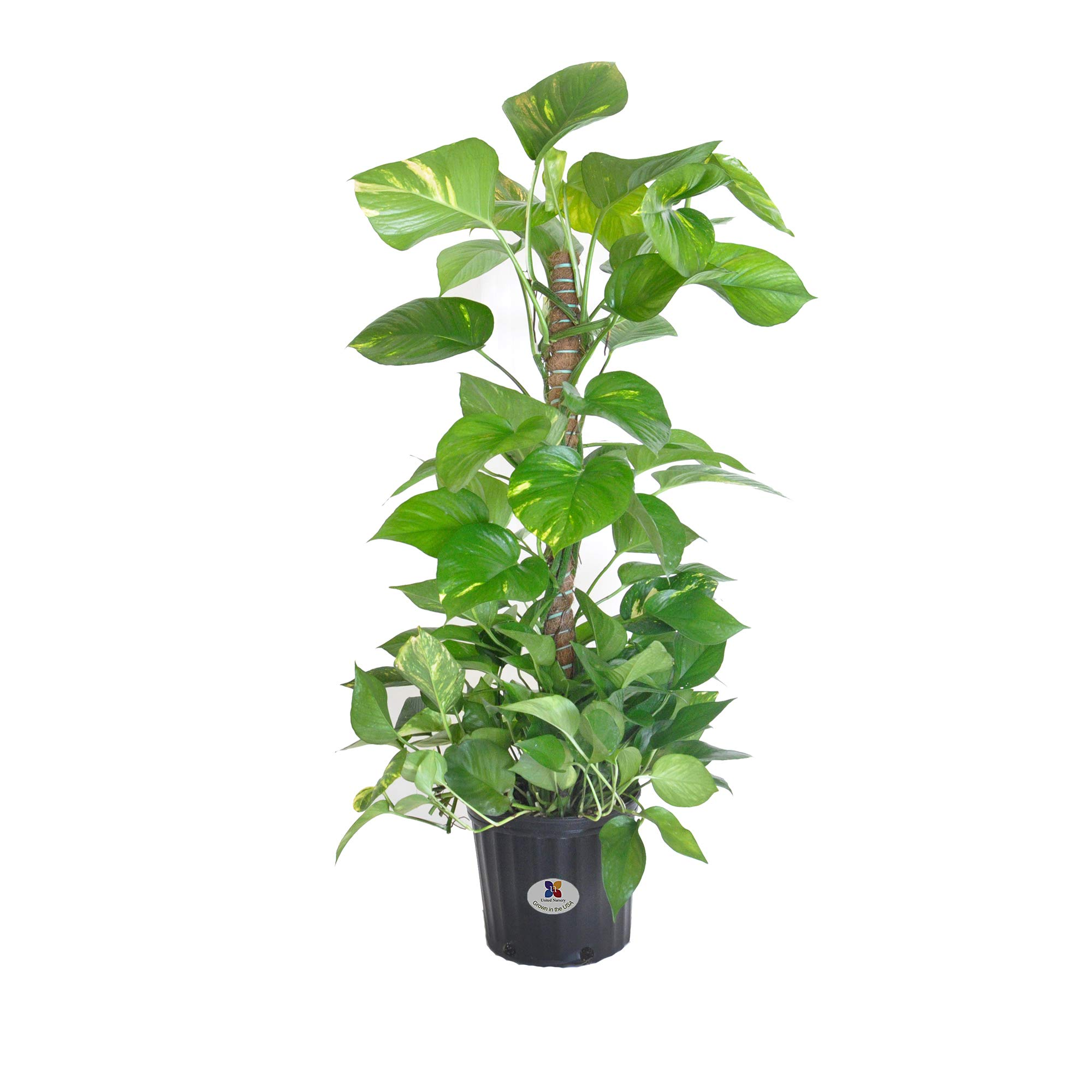 United Nursery Golden Pothos Totem Live Indoor Air Plant. 38'' Shipping Size. Shipped Fresh in Grower Pot from Our Florida Farm by United Nursery