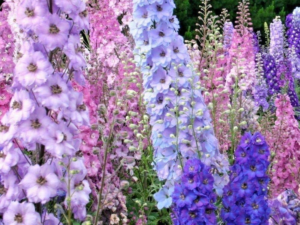 Larkspur Rocket Mix Colors Blend Flower Seeds, 250 Seeds Per Packet, Isla's Garden Seeds