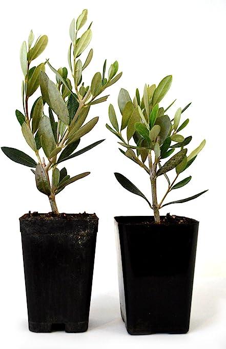Amazon Com 9greenbox Olive Tree Tree Of Peace Olea