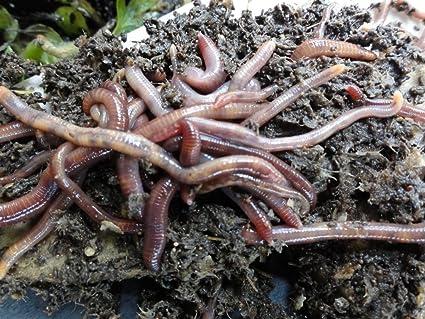Amazon.com: 1 Lb. Rojo Wiggler gusanos lombrices: Jardín y ...