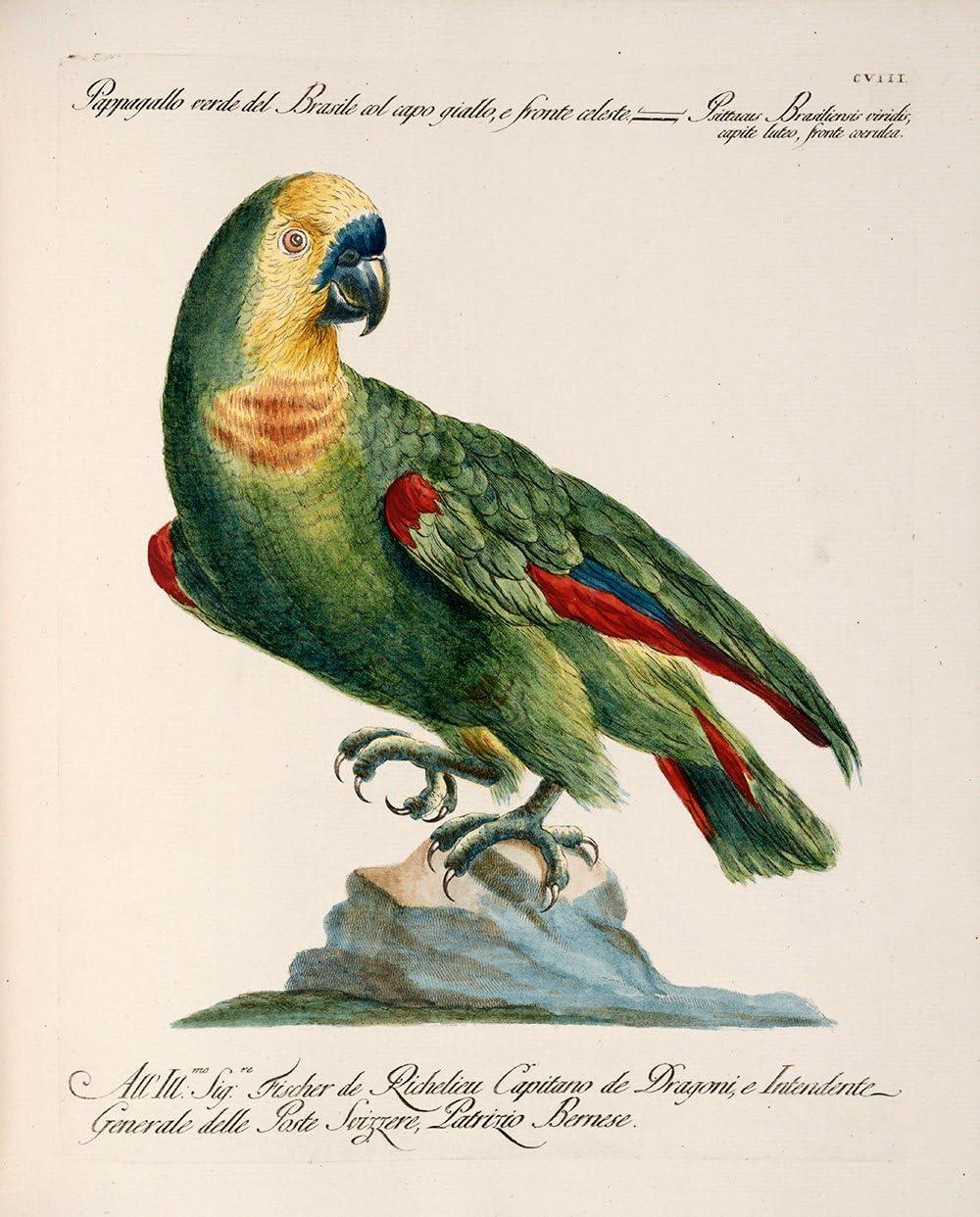 Amazon Com Saverio Manetti Blue Fronted Amazon Parrot