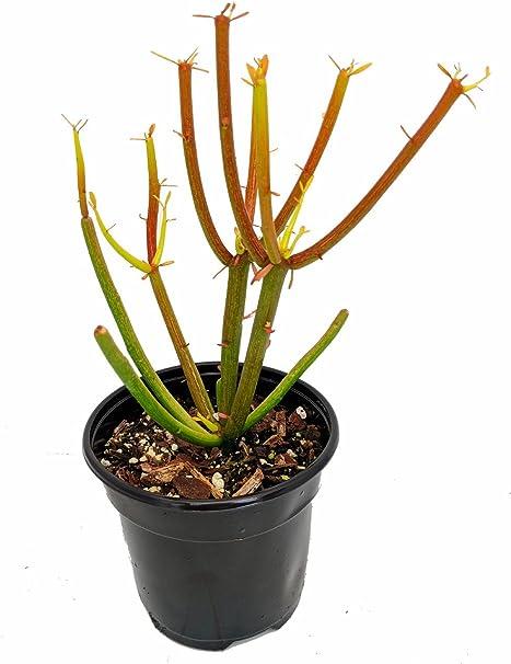 Amazon.com: Fire varillas lápiz Cactus – Euphorbia – fácil ...