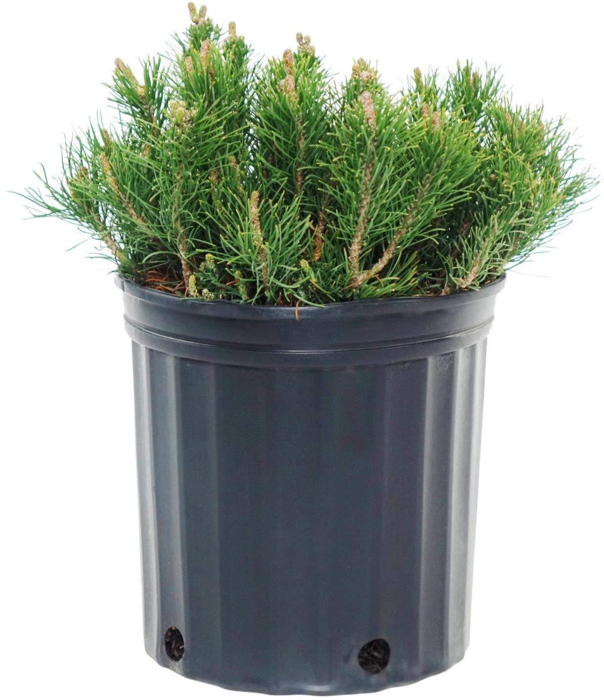 Pinus mugo var. 'Mughus' (Dwarf Mugo Pine) Evergreen, #3 - Size Container