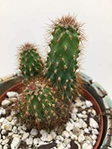 1 Cereus Peruvian Unique Cactus Cacti Succulent WL #NR02