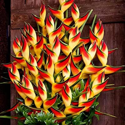 wpOP59NE 50Pcs Rare Heliconia Wagneriana Ornamental Plant Seeds Home Garden Yard Decor Plant Seeds : Garden & Outdoor