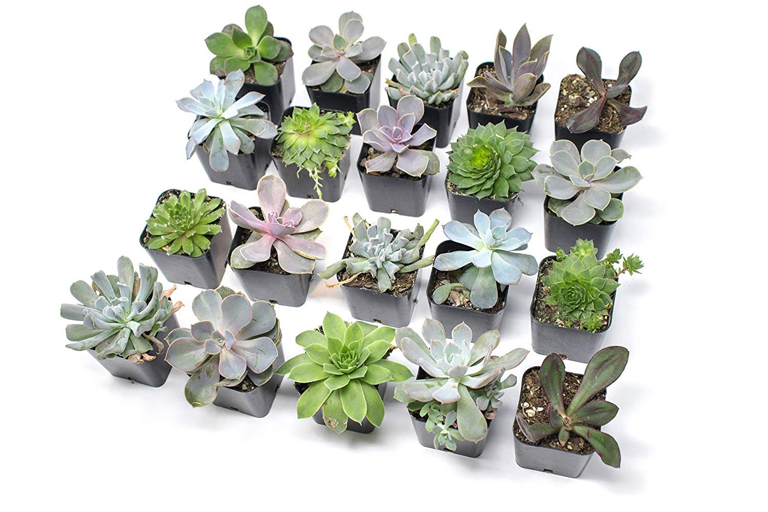 20 Live ''B-Grade'' Succulents | House Plants with Minor Flaws | Healthy Discounted Cheap Succulent Plants in Planter Pots with Soil by Plants for Pets by Plants for Pets (Image #2)