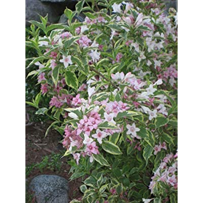 1 Plant in 1 Gallon Trade Pot - Pink VariegatedWeigela - Established Rooted : Garden & Outdoor