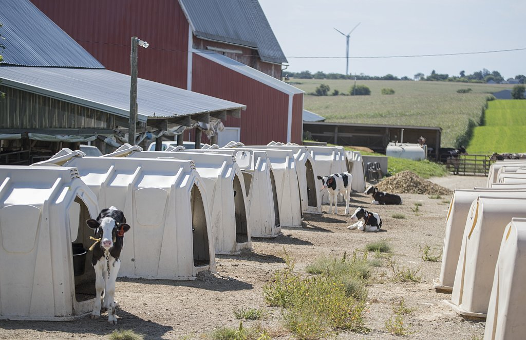 24 x 36 Giclee Print of Young Calves at The Balsdon Dairy Farm acclimate to Their New Homes in Calf Huts Sometimes Called hutches Near Cashton in Monroe County Wisconsin r89 42615 by Highsmith,