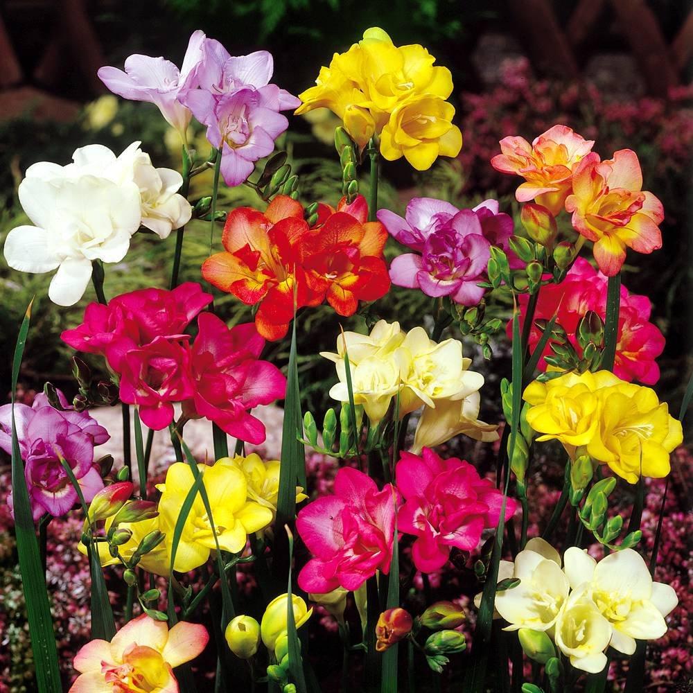 Amazon.com : Freesia double flowering mix - 20 flower bulbs : Garden ...