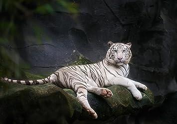 Fototapete Weißer Tiger sitzt in der Höhle  Vliestapete Tapete