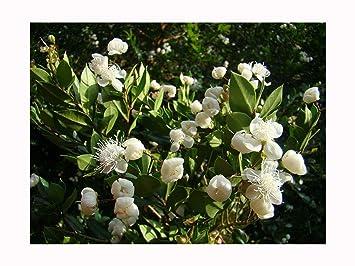 2x Evegreen Summer Flowering Wild Fruit Chilean Myrtle Luma