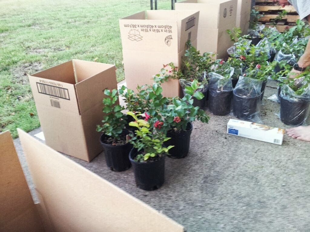 4 Pack - Tonto Crape Myrtle Trees - Red/Fushia Blooms