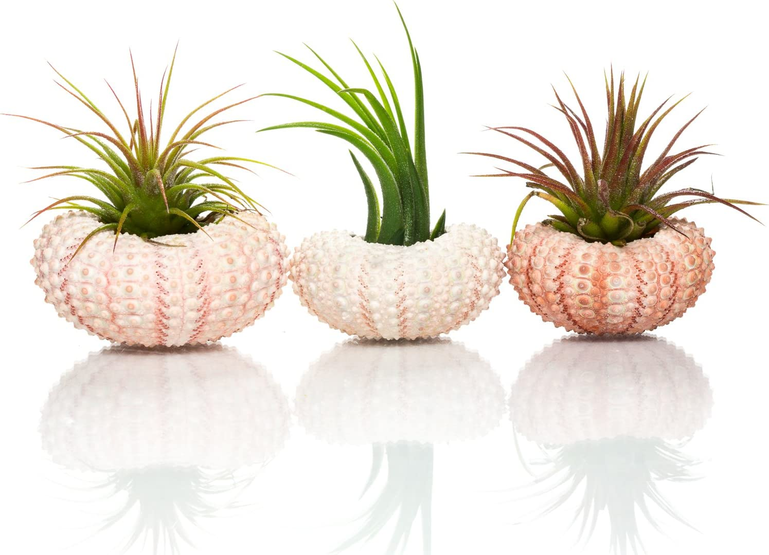 Amazon Com Urchin Air Plant Trio 3 Green Sea Urchins And