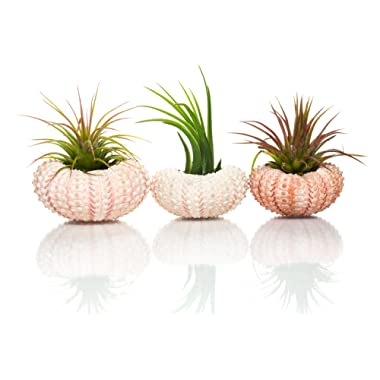 Nautical Crush Trading Urchin Air Plant   Pink Sea Urchins and Tillandsia Gift Set (3 Pack)