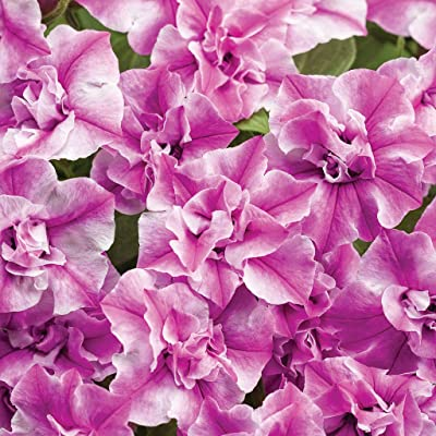 Supertunia (Petunia Hybrid) Premium Annual Plants (4-Pack), Sharon Color, 4.33″ Pot : Garden & Outdoor