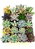 """Instant Cactus/Succulent Collection - 5 Plants -Terrarium/Fairy Garden- 2"""" pots"""