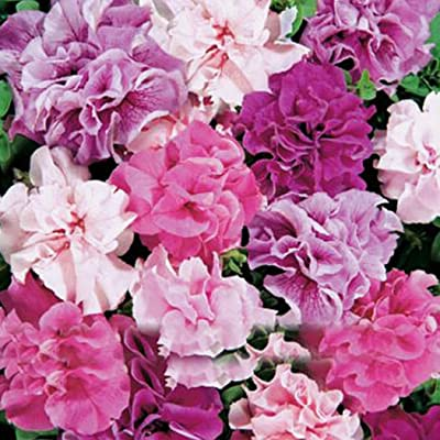 QiBest 200pcs Double Petals Petunia Seeds Bonsai Rare Waterfall Flower Seeds Garden Flowers: Home Improvement