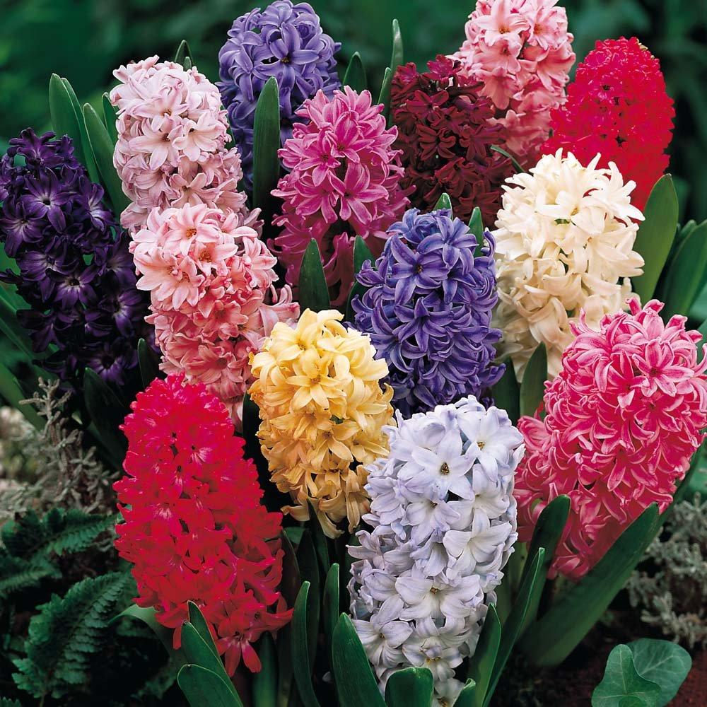 Hyacinth - 6 Mixture Hyacinth Bulbs 14/16 cm - Fall Planting & Spring Blooms